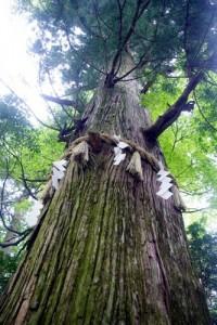 高尾山の名所である蛸杉